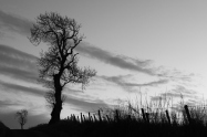 b+w tree at sunset